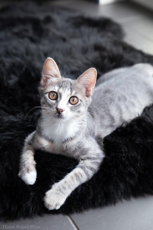 A silver kitten on a black sheepskin rug.